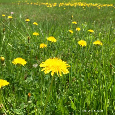sciroppo di fiori di tarassaco sciroppo ai fiori di tarassaco one cake in a million
