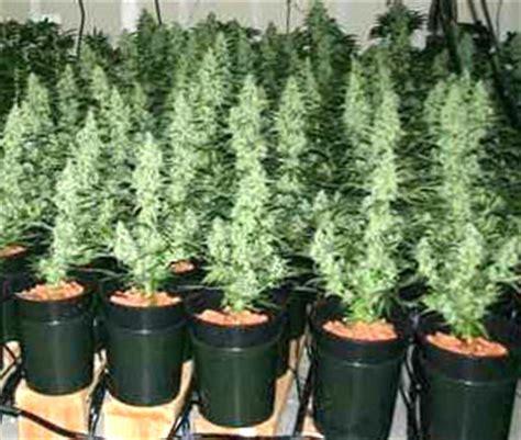 cultiver des graines de cannabis f 233 minis 233 es seeds