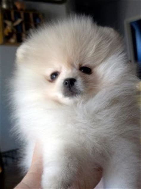 pomeranian puppies for free adoption and adorable pomeranian puppies for free adoption