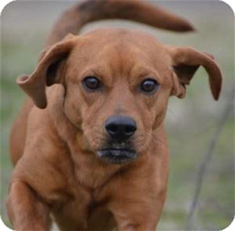 pug hound mix adopted 145 jacksonville ar basset hound pug mix