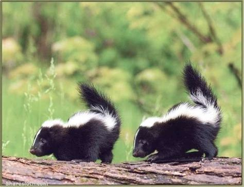 baby skunk pictures sharesloth
