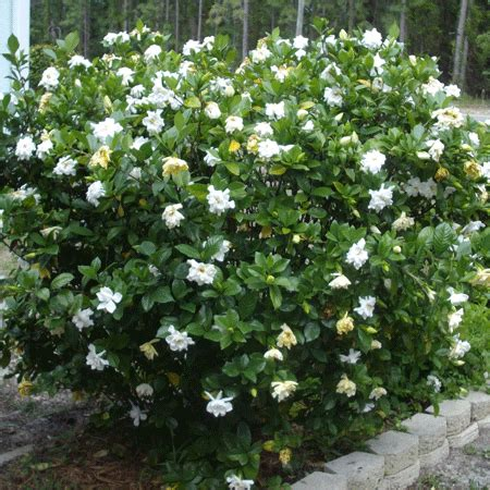 Gardenia Bush For Sale Four Seasons Gardenia Shrub For Sale Fast Growing Trees