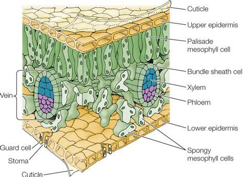 leaf anatomy diagram hillis2e ch24