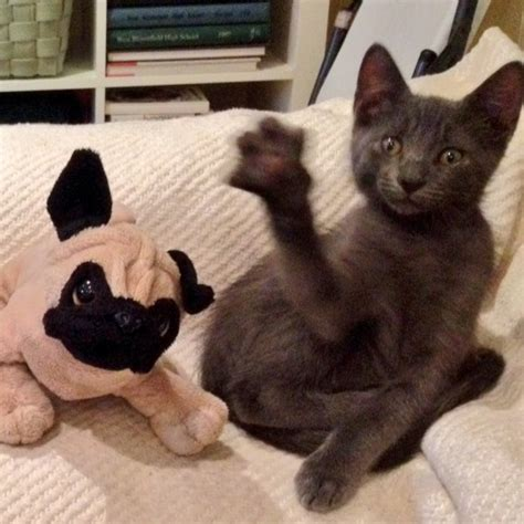 waving pug cuteness chronicles a pug and his adorable foster kittens