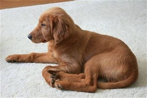 setter and golden retriever mix golden breed information and picturess