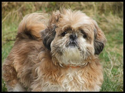 a shih tzu puppy shih tzu hair breed dogs breeds picture