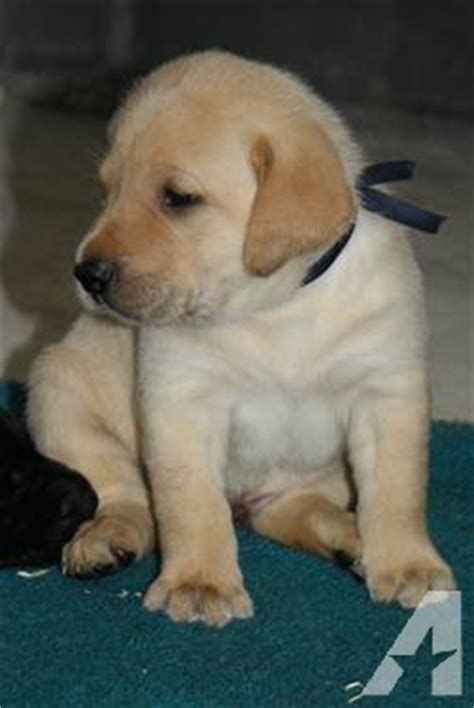 duck lab puppies for sale duck dogs labrador retrievers lab puppies for sale in armstrong alabama