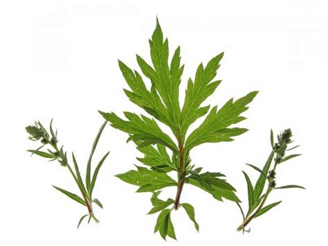 mugwort tea benefits how to make amp side effects