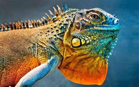 imagenes wallpaper de animales iguana animal wallpaper en ultra hd