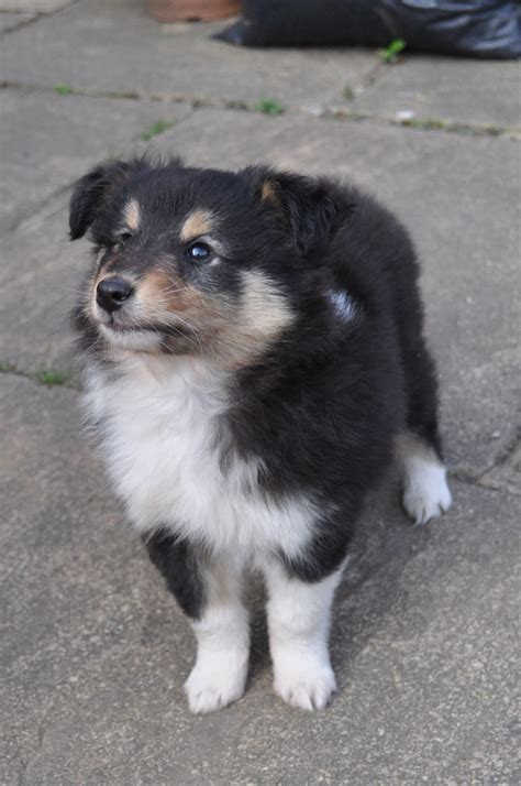 tri for dogs shetland sheepdog tri colour puppy for sale manchester greater manchester