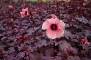 Lowes Backyard Red Leaf Hibiscus Elpasonovicegardener