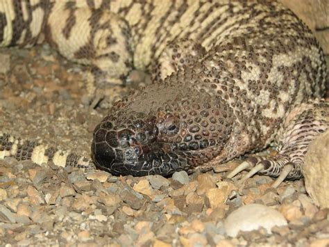 mexican beaded lizard facts the gallery for gt nile monitor lizard bite