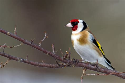 european goldfinch facts temperament as pets care