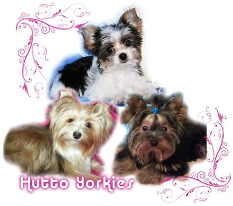 my yorkie is shaking our yorkies image search results