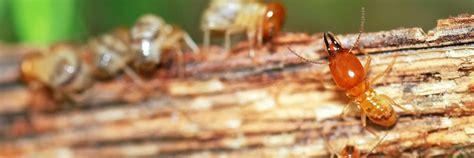 termite control services termite removal rentokil