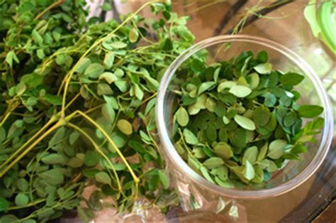 Moringa Detox Recipe by Recipe For Daily Detox With Moringa Leaves Shaka Vansiya