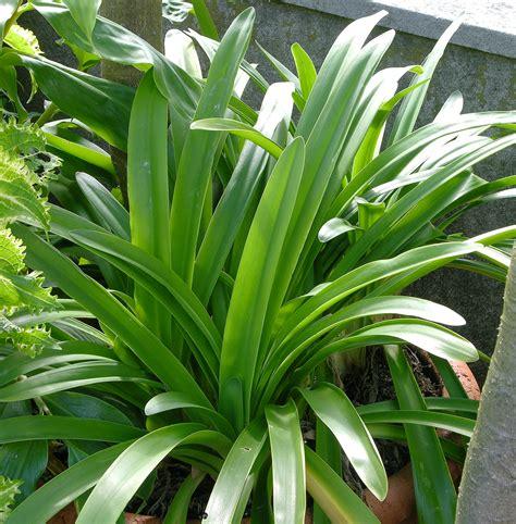 agapanthus plantenidentificatie