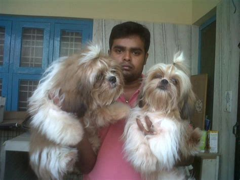 shih tzu for sale in bangalore beagle price in india beagle for sale in india 2 breed breeds picture