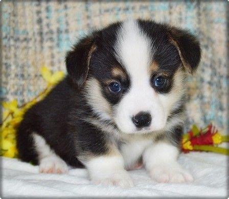corgi puppies kansas best 25 pembroke corgi breeders ideas on corgi pups corgi puppies