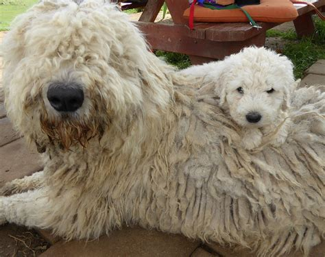 komondor puppy komondor puppies for sale california