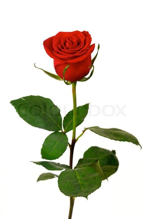 single roses single on a white background stock photo