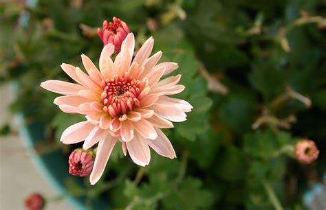 crisantemi in vaso potare i crisantemi in vaso o in giardino idee green