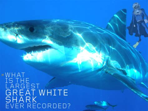 What Is The Largest Great White Shark Ever Recorded Primer | what is the largest great white shark ever recorded