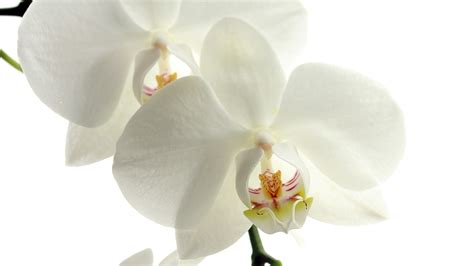 black and white orchid wallpaper white orchid download hd wallpapers