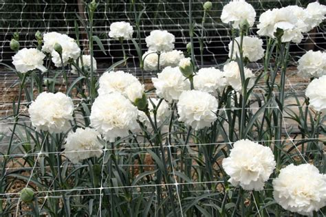 Carnation Picture 10 welcome www flowerweb com