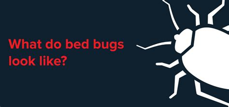 what do bed bugs look like debugged