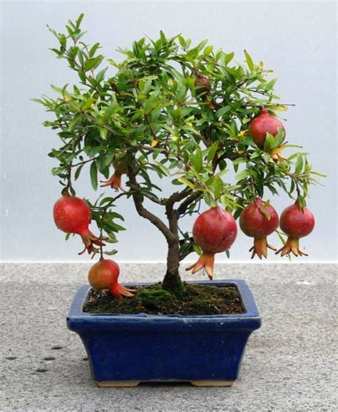 best place to buy wholesale fruit trees best 20 bonsai fruit tree ideas on