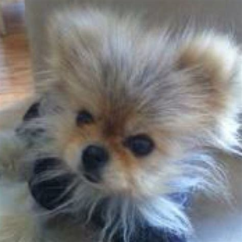 vanderpump pomeranian breeder 171 best gettin giggy with it images on real