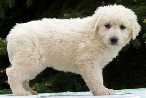 kuvasz puppies kuvasz the of animals