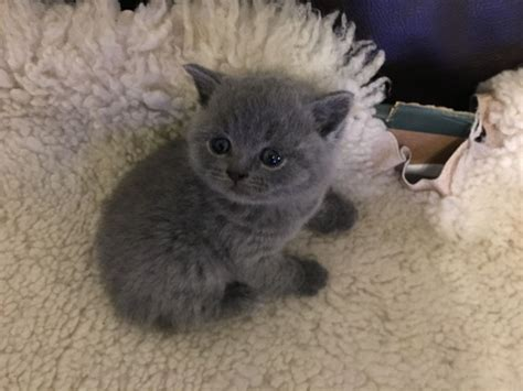 shorthair kittens for sale shorthair kittens for sale gravesend kent