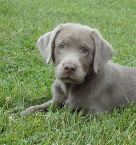 silver lab puppies for sale in oregon silver lab breeds picture