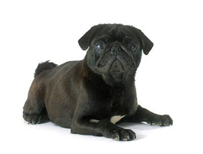 names for a pug awesome pug names 95 sweet silly adorable ideas