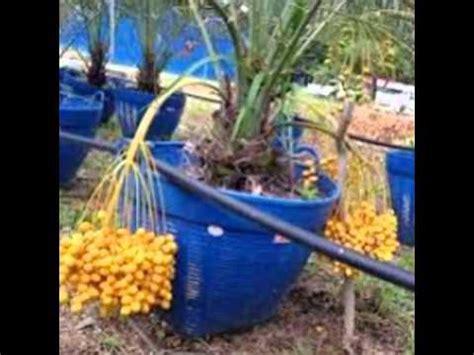Bibit Kelengkeng Yang Sudah Berbuah jual pohon kurma kl 1 yang sudah berbuah 085361358695
