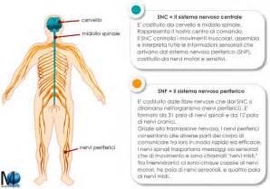 test di anatomia differenza tra sistema nervoso centrale e periferico