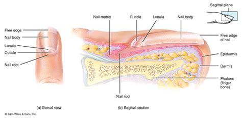 fingernail diagram figure 4 4 nail structure