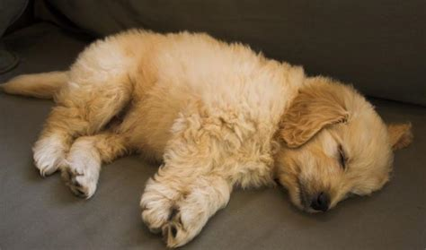 goldendoodle puppy ranch image gallery sleeping goldendoodles