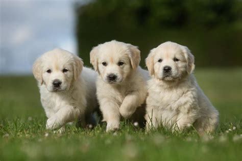 why is my golden retriever puppy so hyper 15 pictures of the cutest golden retriever puppies that will make your melt