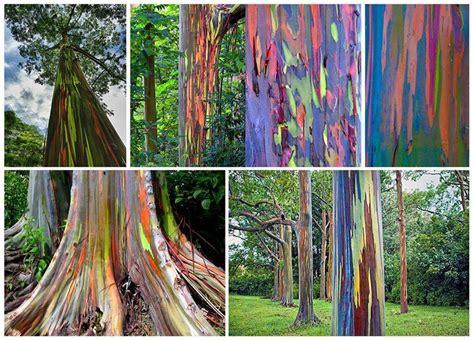 rainbow trees rainbow eucalyptus alocasia heliconia ginger rare