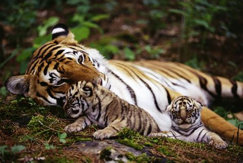 hd wallpaper for android tiger baby tiger android hd wallpapers 6849 amazing wallpaperz