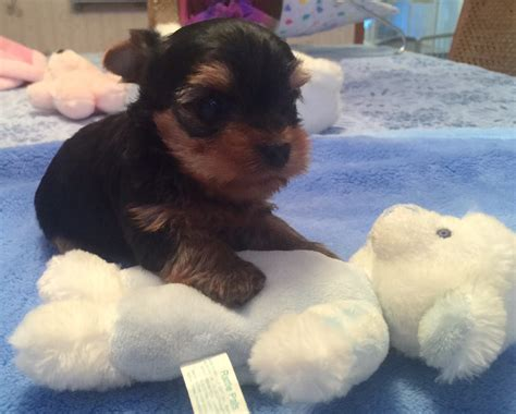 teacup yorkies for sale in new orleans teacup yorkie puppies for sale mn breeds picture