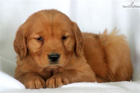 golden retriever puppies lancaster pa dogs and puppies for sale and adoption oodle marketplace