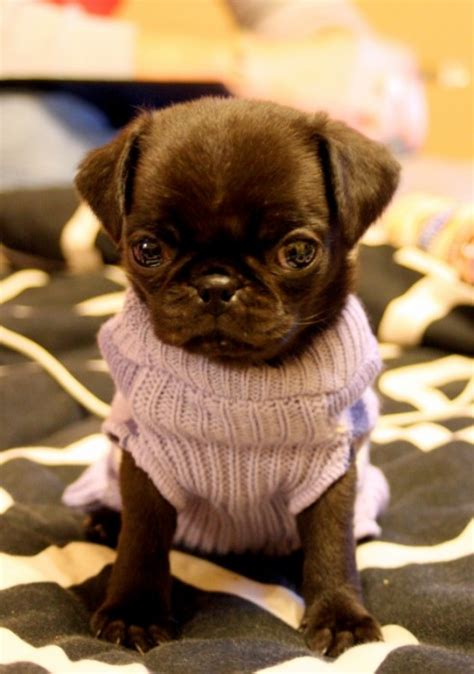 what does pug stand for animals hybrid dogs