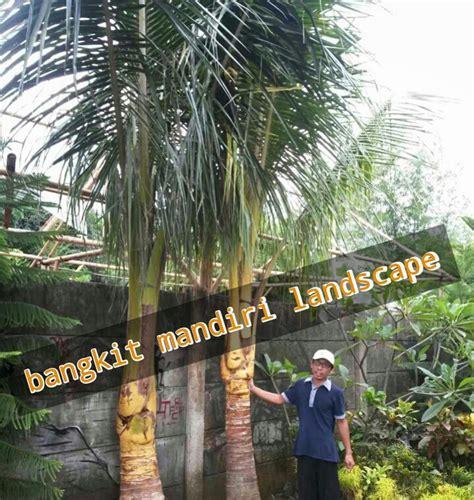 pohon kelapa gading jual pohon kelapa gading pohon