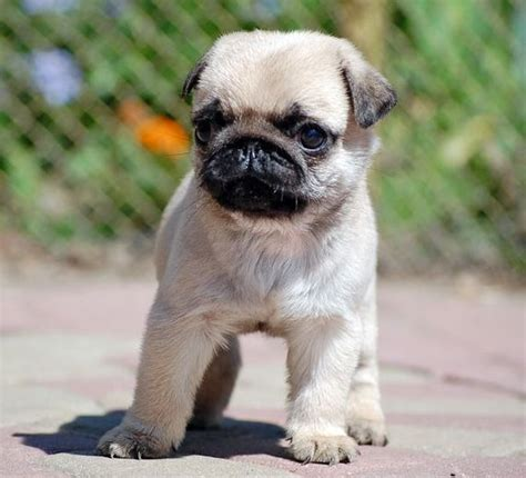 how much is a baby pug 265 best pug images on animals pugs and pug