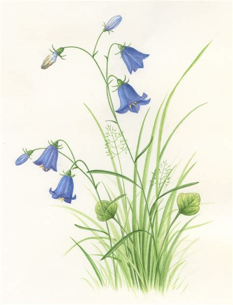 sandra pond harebell artists amp illustrators original