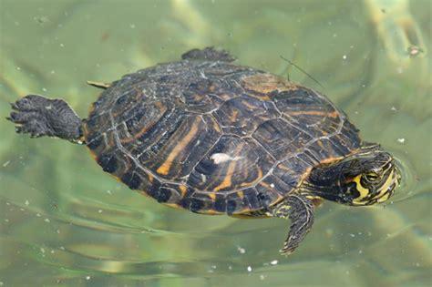 tartaruga d acqua alimentazione tartarughe d acqua dolce tartarughe caratteristiche